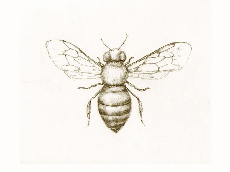 honey bee sketch colony collapse disorder pollinator k llamas drawing