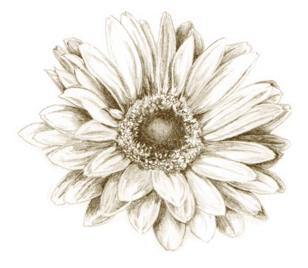gerber daisy sketch flower k llamas drawing